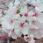 お花見ついでに、一心堂の「春いちばんセール」へどうぞ。